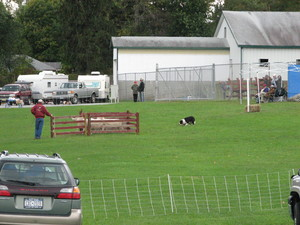 Sheep_dog_demonstration_1